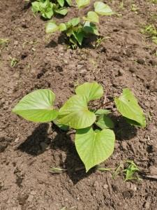 ほっくん農園 さつまいも土寄せ除草6.20        IMG_20190620_111249-684x912