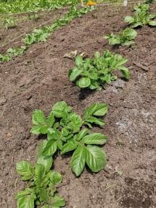 ほっくん農園 馬鈴薯土寄せ除草6.20       IMG_20190620_111359-684x912